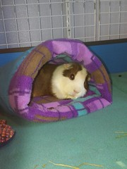 Scatter-bug napping away #1 2.7.16 (grannyju1) Tags: pets guineapig scatter february 2016
