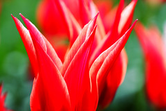 Tulips 2_007 (cees van gastel) Tags: flowers macro nature tulips natuur bloemen tulpen canon100400mm ceesvangastel canoneos40d