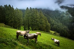 Cows on a hillside (azriayob) Tags: travel trees italy mist mountains alps green fog cows hill views greenery vistas herd