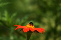 nctar (Govinda John) Tags: naturaleza flores flower macro nature canon echinacea bichos macrofotografa nctar canont5i