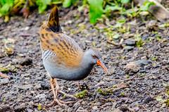 Rallus Aquaticus (phat5toe) Tags: nature birds nikon wildlife feathers penningtonflash avian wetland wigan flashes waterrail greenheart rallusaquaticus d7000 sigma150500