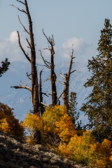 Fall in the Bristlecones (Jeffrey Sullivan) Tags: california county copyright usa jeff nature pine forest canon landscape photography photo ancient sierra sullivan bishop bristlecone 2014 easternsierra inyo