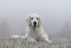 Ditte on a foggy morning (Ingrid0804) Tags: mist fog goldenretriever regal wintermorning 100commentgroup