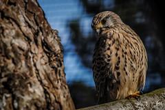 Faucon Crécerelle - Zoo de Fort-Mardyck