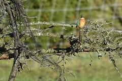 _HNS8108 IJsvogel : Martin-pecheur d'Europe : Alcedo atthis : Eisvogel : River Kingfisher