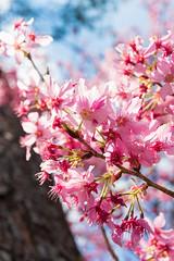 20160306-DSC_6142 (Kay's...) Tags: cherryblossom sakura   wuling wulingfarm