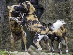 Playing wild dogs (Tambako the Jaguar) Tags: dog playing fun zoo switzerland three jumping nikon action canine basel together fighting africanwilddog zolli wilddog d4 lycaon canid