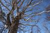 冬枯れ withering in winter (gutti_siki1) Tags: winter sky japan kanagawa 冬 空 beech tanzawa 神奈川 丹沢 ブナ