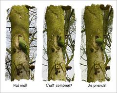 Le nouveau locataire (chando*) Tags: brussels bird triptych bruxelles oiseau triptyque monkparakeet parcdewoluw perruchemoine