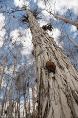 Evening bat (Nycticeius humeralis) in Everglades National Park (Don Filipiak) Tags: sleeping nikon florida bat wideangle everglades cypress evergladesnationalpark roost fledermaus dwarfcypress eveningbat nikonwideangle nycticeiushumeralis nikonwildlife nikon28300mm wideanglewildlife rainforestdon nikond750