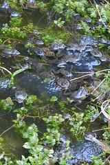 Common Frogs (Rana temporaria) (willjatkins) Tags: frog frogs rana frogspawn hemelhempstead gardenwildlife ranatemporaria gardenpond commonfrog gardenponds macrowildlife britishamphibians hertfordshirewildlife frogsspawning britishreptilesandamphibians britishherpetofauna ukamphibiansandreptiles ukreptilesandamphibians ukamphibians britishamphibiansandreptiles gardenpondwildlife hertfordshireamphibians wildlifeofgardenponds hertfordshireamphibiansandreptiles ukherps ukherpetofauna hemelhempsteadwildlife britishherps