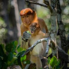 Mom feeding youngster P3150625.jpg (Marc Weinberg) Tags: baby mom monkey feeding philippines olympus borneo primate indigenous proboscismonkey getolympus olympusomdem1