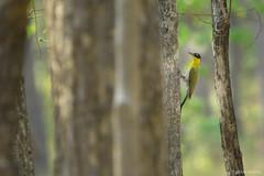 / Black-headed Woodpecker / Picus erythropygius (bambusabird) Tags: trees birds animals forest thailand woodpecker nikon wildlife tropical oriental dryforest lumphun bambusabird