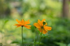 Flower (Manzur Ahmed) Tags: flower green yellow garden daylight nikon outdoor nursery april dhaka bangladesh cosmos 2016 d7100 naturebynikon