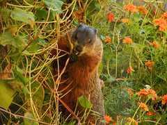 Woodchuck happily eating the heads off my flowers (avatarsound) Tags: rodent wildlife woodchuck groundhog whistlepig