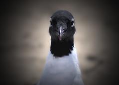 Laughing Gull (pattyannemac) Tags: seagull gulls beachbirds laughinggulls floridabirds largebirds