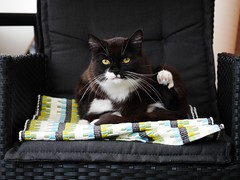 Tussi clean - in a chair in her sun-room... (vanstaffs) Tags: t tuxedocat tux tutu tusse tussi tuzz tuxedogirl myprettytuxedogirl tuzz