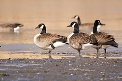 Bernache du Canada (jsguenette) Tags: bird wildlife birding ornithology birdwatching oiseau canadagoose faune ornithologie bernacheducanada