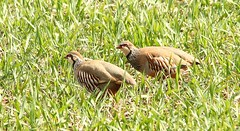 Brace of Partridges (glostopcat) Tags: birds cotswolds glos partridges gamebirds redleggedpartridges
