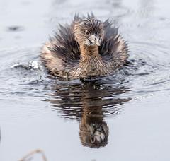 20160318-_74P4366.jpg (Lake Worth) Tags: bird nature birds animal animals wings florida outdoor wildlife feathers wetlands everglades waterbirds southflorida birdwatcher canonef500mmf4lisiiusm canoneos1dx