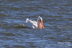 American White Pelican fishing sequence - 10 of 20
