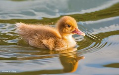 Cute and Furry (Thank you, my friends, Adam!) Tags: flower macro cute art beauty closeup lens photography furry nikon gallery photographer florida wildlife ngc fine central duckling telephoto excellent dslr curve