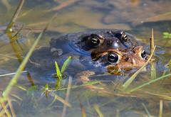 American Toads do it.... (ctberney) Tags: nature spring amphibians americantoads anaxyrusamericanus