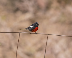 Painted Redstart (r) (wplynn) Tags: arizona mountain mountains bird birds painted greenvalley maderacanyon santarita redstart pictus myioborus