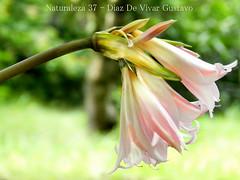 Naturaleza 37 - Diaz De Vivar Gustavo (Diaz De Vivar Gustavo) Tags: naturaleza 37 diaz de vivar gustavo flor flores nature natural flower flowers fleursetpaysages