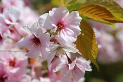 Spring in Kew Gardens (tommyajohansson) Tags: flowers kewgardens flower london primavera fleur kew fleurs geotagged spring blumen blomma blume blommor printemps botanicgardens royalbotanicgardens frhling vr botanisktrdgrd tommyajohansson