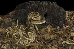 Central American Neotropical Rattlesnake (Christian Sanchez Photography) Tags: snake culebra poison ratlesnake poisonsnake avescostarica
