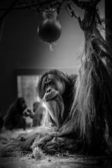 (mariosiebold) Tags: light bw white black smile animal munich mnchen zoo nikon stripe cage ape desaturated dslr tierpark kfig vignette fell orang utan tier lcheln d800 affe hellabrunn fokus unschrfe schwarzweis desaturiert