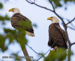 Bald Eagle pair Canon 5Ds (Mike Black photography) Tags: new sky white black bird mike nature canon lens photography is big eagle body year birding bald nj raptor shore jersey l usm f56 eaglet talons banded 800mm 5ds 1dx