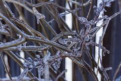 (marina~) Tags: storm tree ice canon branches suburbia brach niksoftware