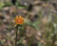 """Orange Agoseris • <a style=""""font-size:0.8em;"""" href=""""http://www.flickr.com/photos/63501323@N07/26071465443/"""" target=""""_blank"""">View on Flickr</a>"""