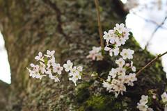 IMG_9409 (elenafrancesz) Tags: uw cherry blossoms wordless