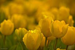 I bought yellow tulips to you from the city park... (oskaybatur) Tags: yellow closeup turkey spring dof tulips bokeh trkiye april ricoh bolu 2016 yellowtulips turkei ilkbahar justpentax sarlaleler pentaxda55300mmf458ed pentaxart pentaxk3 oskaybatur