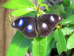Hypolimnas bolina 4 (barryaceae) Tags: house butterfly harbour australia nsw coffs the ausbutterfly