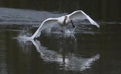Swan taking off (ftm599) Tags: wild lake bird nature birds swan wings nikon wildlife running takingoff bif lowbarns durhamwildlifetrust