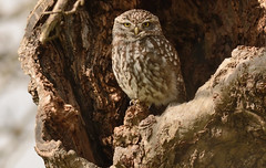 Little Owl (Severnrover) Tags: tree hole little owl