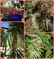 Pepper tree  @ Mission San Luis (CA) (France-) Tags: usa tree rose collage vert mission arbre feuille californiapeppertree californie peppertree spanishmission baies fruitssecs fauxpoivrier poivriersauvage