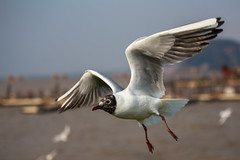 (sunnyha) Tags: china sky color colour bird nature animal canon outdoors flying wings asia colours photographer wildlife flight chinese free sunny aves photograph  photographier larusridibundus  blackheadedgull 6d       wildbird   eos6d ef70200mmf4lisusm  sunnyha