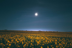 20/04/2016 Moon (Adam_Marshall) Tags: flowers sky moon adam nature field yellow night canon landscape outdoors countryside spring twilight soft open infinity empty sigma marshall cambridgeshire vast adammarshall sawtry 1750mmf28 stereocolours eos70d