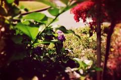 Flowers (1) (samdabull) Tags: colorphotography om1 olympusom1 35mmcamera 50mmf14zuiko fujifilm400supera