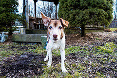 Myrtle-3 (66Baseball) Tags: dog female jack mix russell pennsylvania terrier jackrussell myrtle shelter kennel allrightsreserved adoption berkscounty bbi arl 501c3 animalrescueleague jackrussellterriermix copyright 6666baseball66 bbi copyrightbbi