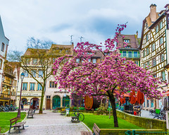 Blossoming cherry tree (guyvitagasy) Tags: city flowers trees france colors beauty fleurs cherry spring cityscape blossom couleurs blumen strasbourg alsace printemps ville springtime blossiming