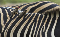 Easy Riders (philnewton928) Tags: africa wild bird nature animal southafrica mammal outdoors nikon pattern outdoor stripes wildlife safari zebra animalplanet krugernationalpark kruger satara oxpecker burchellszebra redbilledoxpecker buphaguserythrorhynchus equusquaggaburchellii d7200 oxpeckerbird redbilledoxpeckerbird nikond7200