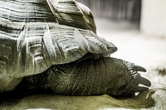 (So Tysh) Tags: skin turtle reptile peau carapace patte