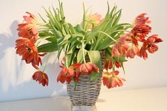 Tamron_85f1-8VC_f16_95490 (tombomba2) Tags: flowers plants bayern deutschland tulips blossom pflanzen 85mm blumen bloom fullresolution f18 tamron vc lenses tulpen altdorf blten blhen objektive 8518vc