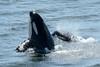 Polaris (J28) Spyhop and Moby (J44) Surfacing (Hysazu) Tags: dolphins whales orca killerwhales jpod wildwhales southernresidentkillerwhales islandadventures srkw islandexplorer3